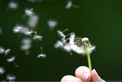 dandelion_seeds_being_blown